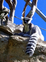 A Lemur at The Bermuda Aquarium Museum and Zoo | BAMZ