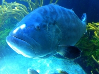 Grouper at The Bermuda Aquarium Museum and Zoo | BAMZ