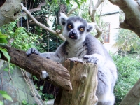 Lemur at BAMZ